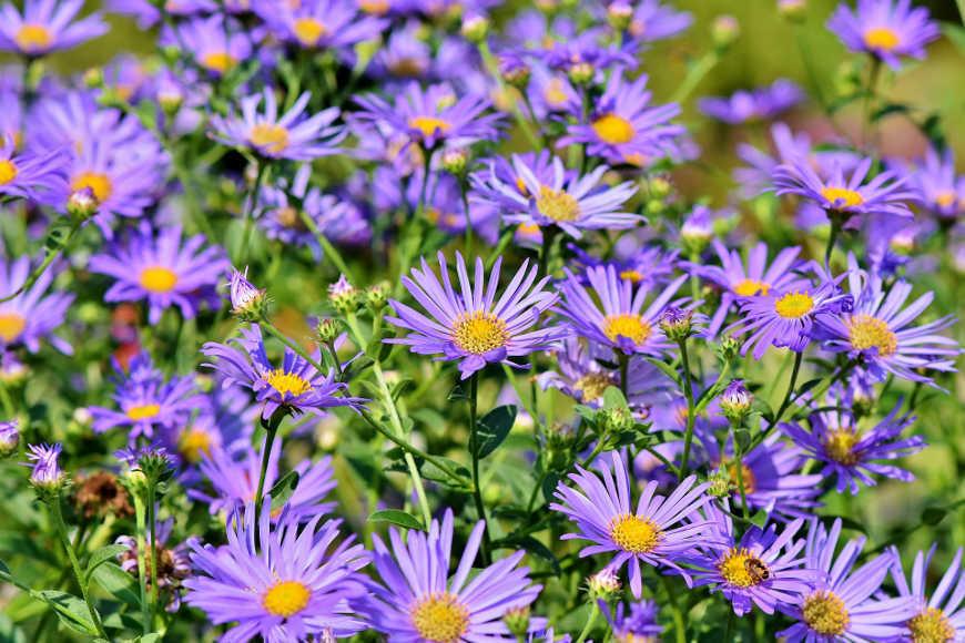 herbstbepflanzung-astern