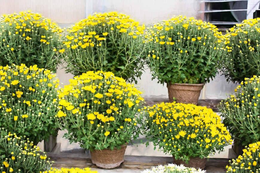 herbstbepflanzung-chrysanthemen