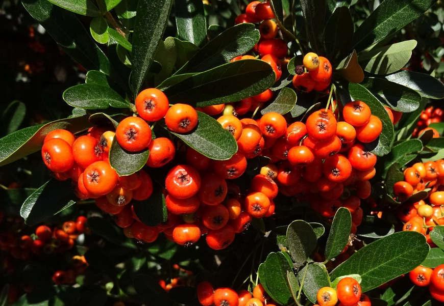 herbstbepflanzung-feuerdorn