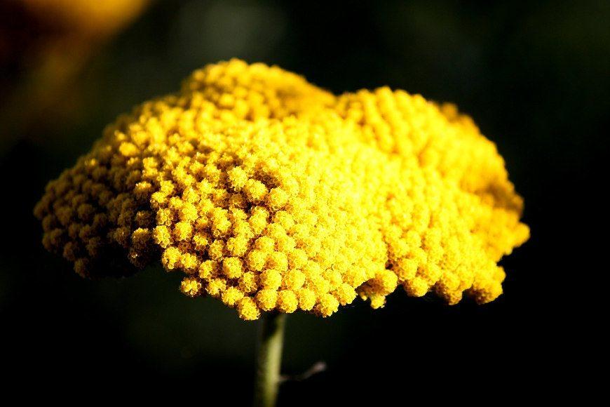herbstbepflanzung-schafgarbe