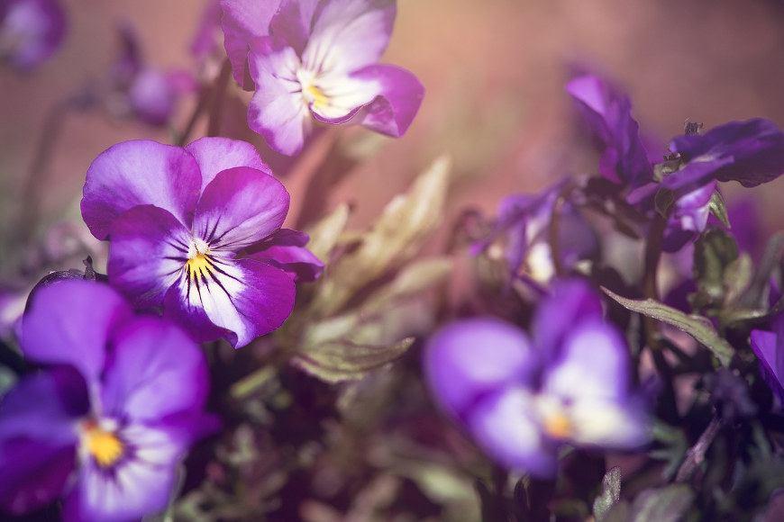 herbstbepflanzung-stiefmütterchen