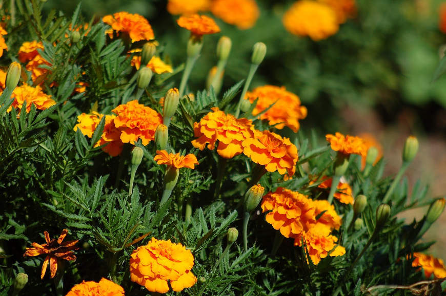 herbstbepflanzung-tagetes